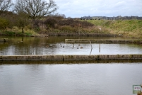 Mallards in the old sewage works reservoir